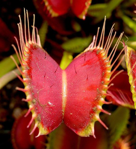 Venus_Flytrap_showing_trigger_hairs